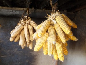 Maize remains the most important cereal for the region and is one that farmer emphasize the most